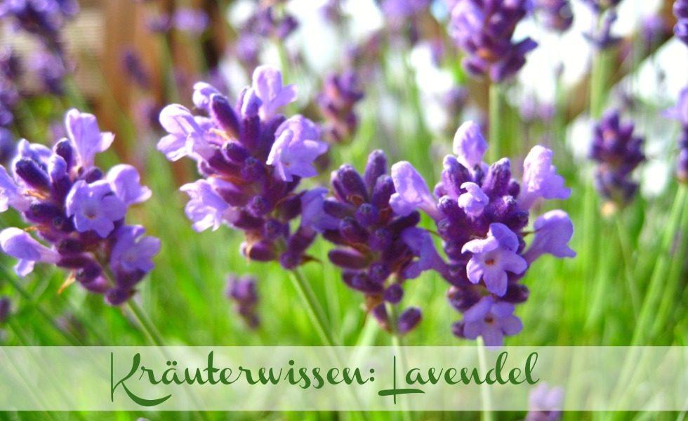 Kräuterwissen Lavendel