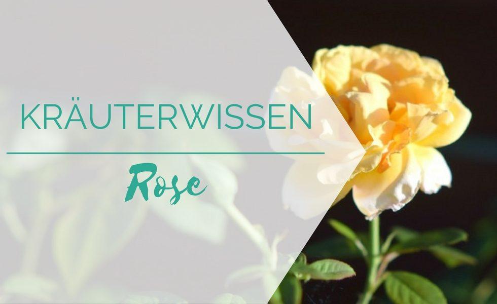 Kräuterwissen: Rose