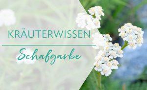 Kräuterwissen: Schafgarbe