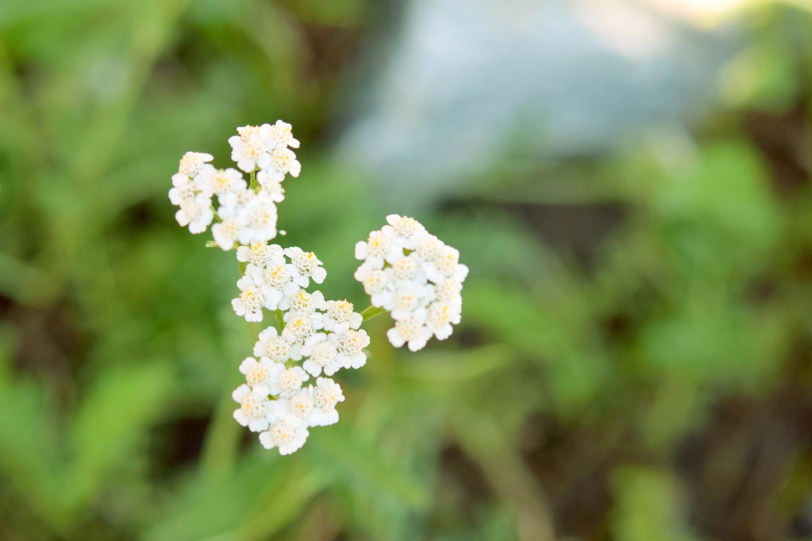 Weiße Schafgarbeblüten