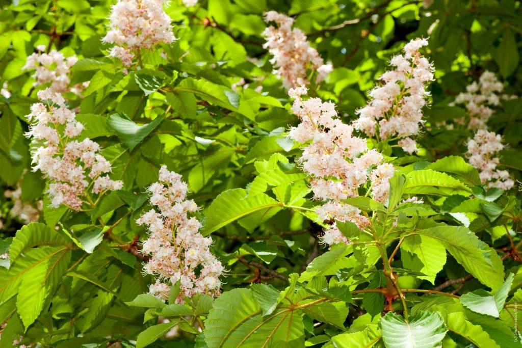 Rosskastanienblüten als Heilkräuter